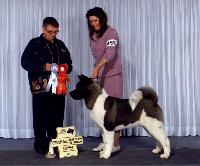 Ch. SheBogi's Blown Away *Nitro*  Akita  taking another Group 2nd and his 7th Best Puppy In Group!